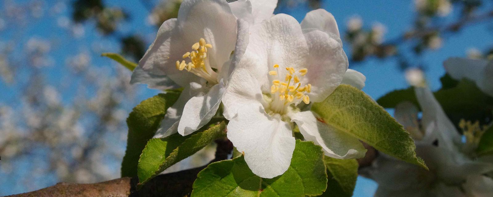 Apfelblüte in Elliant